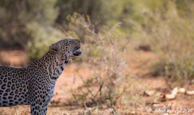 Big Five Cats / Big Cats Portfolio Gallery Category Van Zyl Photography