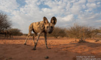 Wild Dogs Portfolio Gallery Category Van Zyl Photography
