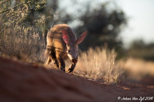 Van Zyl Photography - General Game Portfolio Gallery Category Professional Photography - Aardvark / AntEater Rare Game Wildlife