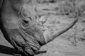 Van Zyl Photography - General Game Portfolio Gallery Category Professional Photography - Rhino Profile Black and White
