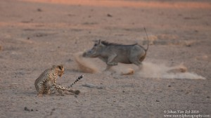 Van Zyl Photography - Big Cats Portfolio Gallery Category Professional Photography - Cheetah and Warthog
