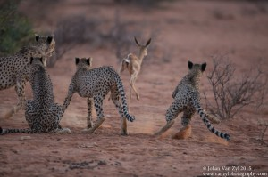Van Zyl Photography - Big Cats Portfolio Gallery Category Professional Photography - Cheetah Cubs