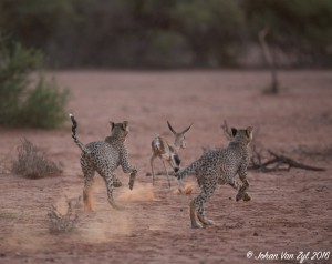 Van Zyl Photography - Big Cats Portfolio Gallery Category Professional Photography - Cheetah Cubs Hunting