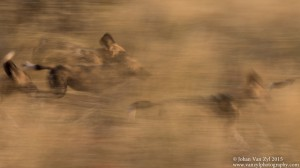 Van Zyl Photography - Wild Dogs Portfolio Gallery Category Professional Photography - Wild Dogs Running in Motion Photo Captured
