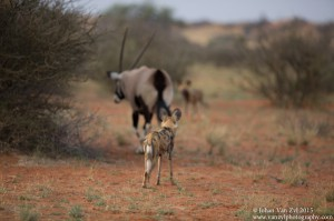 Van Zyl Photography - Wild Dogs Portfolio Gallery Category Professional Photography