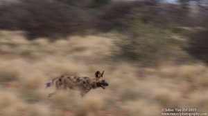 Van Zyl Photography - Wild Dogs Portfolio Gallery Category Professional Photography - Running Wild Dogs action photo