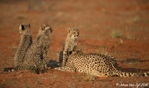 Van Zyl Photography - Big Cats Portfolio Gallery Category Professional Photography - Cheetah Family