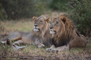 Van Zyl Photography - Big Cats Portfolio Gallery Category Professional Photography - Lioness and Lion