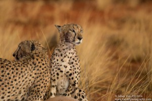 Van Zyl Photography - Big Cats Portfolio Gallery Category Professional Photography - Cheetahs