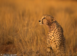 Van Zyl Photography - Big Cats Portfolio Gallery Category Professional Photography - Cheetah Profile