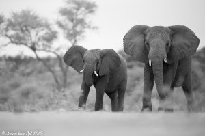 Van Zyl Photography - General Game Portfolio Gallery Category Professional Photography - Elephants Black and White