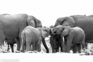 Van Zyl Photography - General Game Portfolio Gallery Category Professional Photography - Elephant Young Herd Black and White Photo