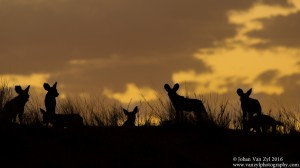 Van Zyl Photography - Wild Dogs Portfolio Gallery Category Professional Photography - Wild Dogs Pack Sunset Silhouette