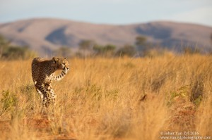 Van Zyl Photography - Big Cats Portfolio Gallery Category Professional Photography - Cheetah
