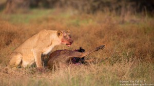 Van Zyl Photography - Big Cats Portfolio Gallery Category Professional Photography - Lioness with a Kill