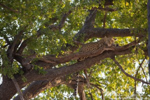 Van Zyl Photography - Big Cats Portfolio Gallery Category Professional Photography - Sleeping leopard in a tree