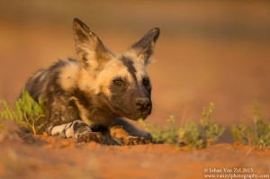 Van Zyl Photography - Wild Dogs Portfolio Gallery Category Professional Photography - Wild Dog lying down