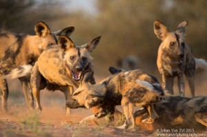 Van Zyl Photography - Wild Dogs Portfolio Gallery Category Professional Photography - Fighting Wild Dogs