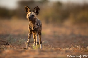 Van Zyl Photography - Wild Dogs Portfolio Gallery Category Professional Photography - Wild Dog Portrait