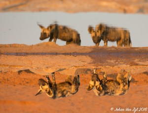 Van Zyl Photography - Wild Dogs Portfolio Gallery Category Professional Photography - Wild Dogs Water Reflection