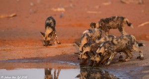 Van Zyl Photography - Wild Dogs Portfolio Gallery Category Professional Photography - Wild Dogs Drinking