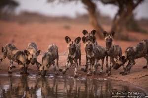 Van Zyl Photography - Wild Dogs Portfolio Gallery Category Professional Photography - Drinking Wild Dog Pack