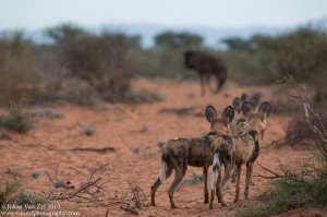 Van Zyl Photography - Wild Dogs Portfolio Gallery Category Professional Photography - Stalking Wild Dog Pack