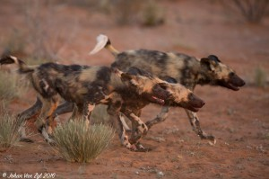 Van Zyl Photography - Wild Dogs Portfolio Gallery Category Professional Photography - Wild Dogs Profile