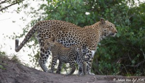 Van Zyl Photography - Big Cats Portfolio Gallery Category Professional Photography - Leopard with a Cub