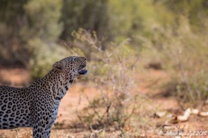 Van Zyl Photography - Big Cats Portfolio Gallery Category Professional Photography - Leopard