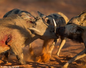 Van Zyl Photography - Wild Dogs Portfolio Gallery Category Professional Photography - Wild Dog Kill