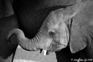 Van Zyl Photography - General Game Portfolio Gallery Category Professional Photography - Elephant Calf Profile Black and White Photo