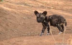 Van Zyl Photography - Wild Dogs Portfolio Gallery Category Professional Photography - Wild Dog Puppy
