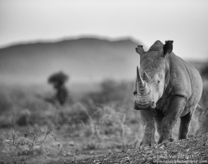 Van Zyl Photography - General Game Portfolio Gallery Category Professional Photography - Rhino Portrait