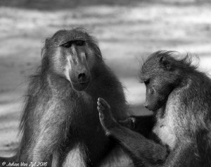 Van Zyl Photography - General Game Portfolio Gallery Category Professional Photography - Grooming Baboons