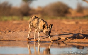 Van Zyl Photography - Wild Dogs Portfolio Gallery Category Professional Photography - Wild Dog at Water