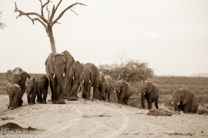 Van Zyl Photography - General Game Portfolio Gallery Category Professional Photography - Elephant Herd Approaching