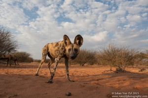 Van Zyl Photography - Wild Dogs Portfolio Gallery Category Professional Photography - Curious Wild Dog